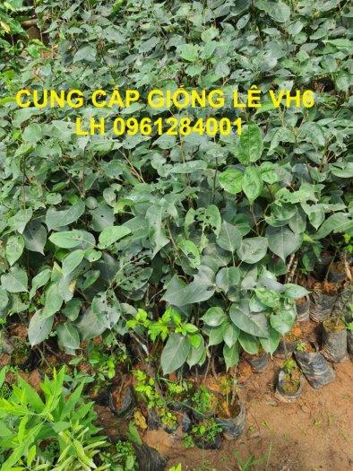 Chuyên cung cấp giống cây lê VH6, lê tai nung, cây lê, số lượng lớn, giao hàng toàn quốc0