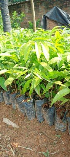 Hạt giống cây rau sắng ngót rừng2