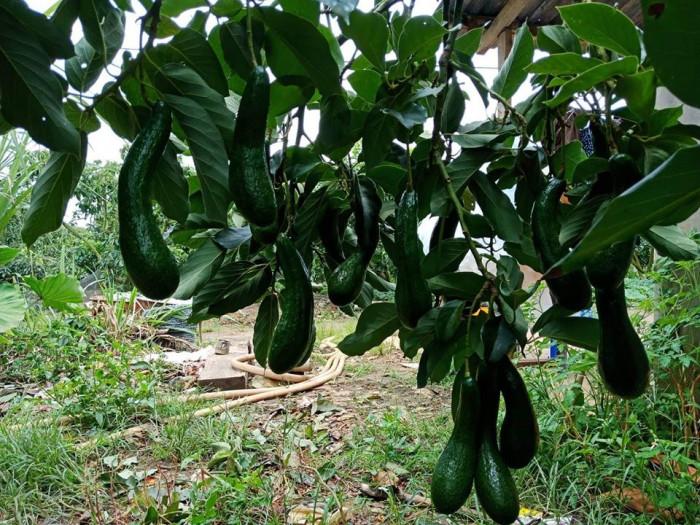 Vựa bơ Lâm Đồng chuyên giá sỉ bơ 34 bơ sáp Vườn nhà Dậu  -038 557 3101  - Bơ 034 xuất khẩu 4