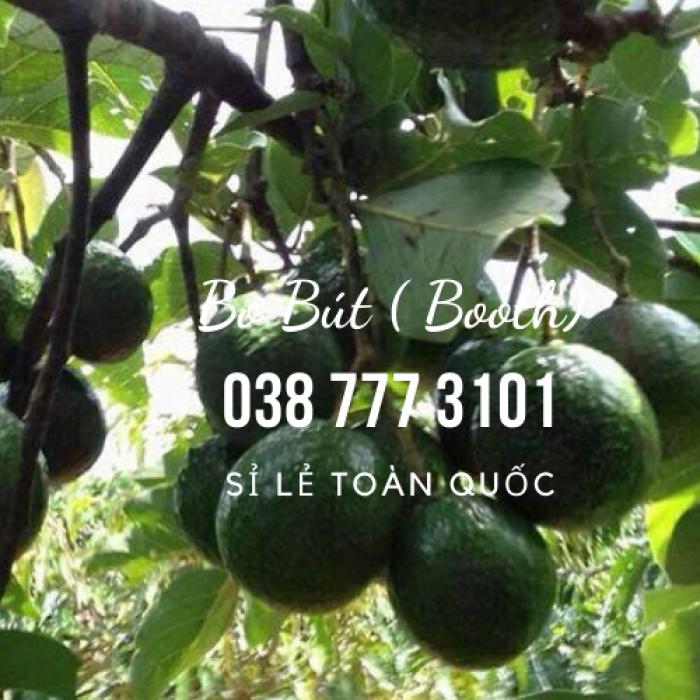 Bơ 034 sỉ bỏ sỉ từ Vườn Nhà Dậu Bao  - Gọi 038 557 3101 4