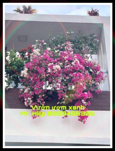 Cây Hoa Giấy đẹp giá rẻ Hà Nội2