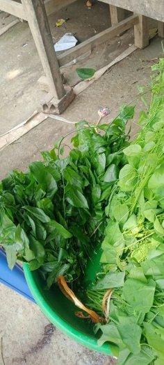Hạt giống rau sắng ngót rừng2