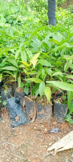 Hạt giống rau sắng ngót rừng3