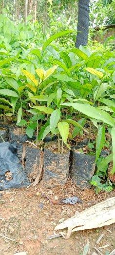 Hạt giống rau sắng ngót rừng4