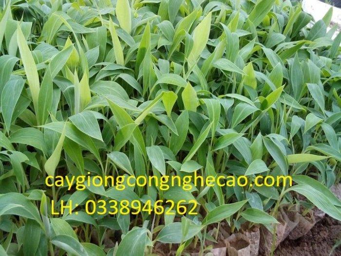 Bán cây giống: Chuối Tây Thái Lan (nuối cấy mô)2
