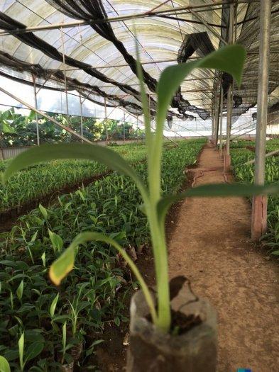 Bán cây giống: Chuối Tây Thái Lan (nuối cấy mô)0