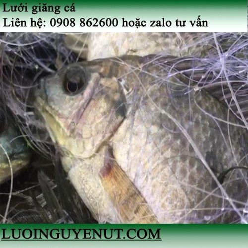 Lưới giăng cá chẽm, cá lóc lớn3