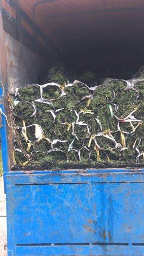 Chuyên cung cấp cỏ nhung Nhật1