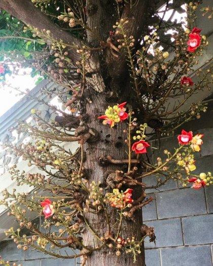 (free ship) cây giống hoa ngọc kỳ lân2