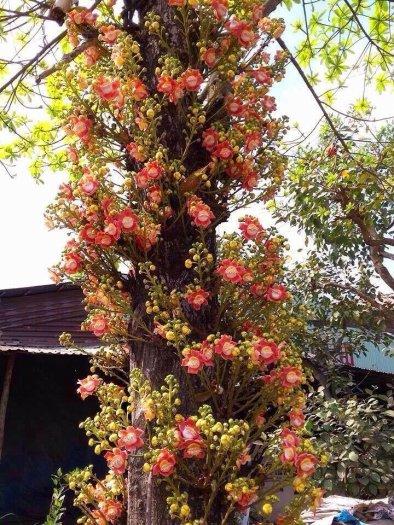(free ship) cây giống hoa ngọc kỳ lân1