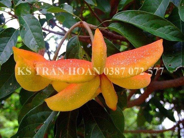 Cây Sang giống, cây Giàu Sang2