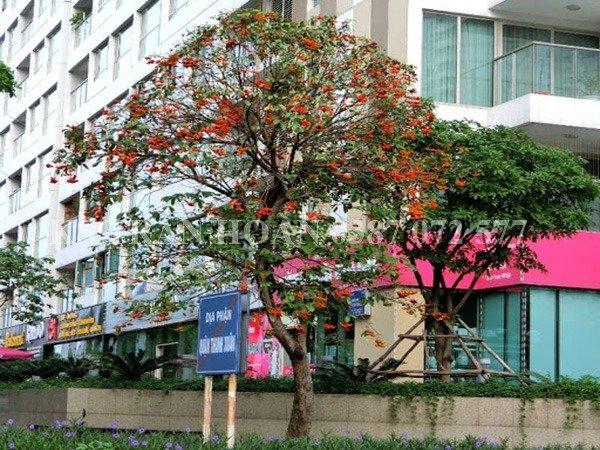 Cây Sang giống, cây Giàu Sang0