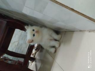 Tìm nhà mới cho 4 Bé Mèo Anh LD mắt Màu Xanh giá 1,5tr/bé4