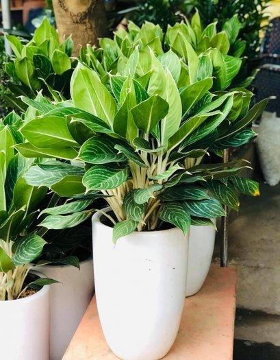 Cây Bạch Mã Hoàng Tử đẹp giá rẻ hà nội1