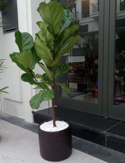 Cây Bàng Singapore đẹp giá rẻ1