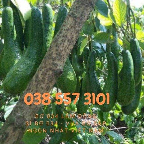 Bơ 034 Lâm Đồng - Vựa bơ sỉ Vườn Nhà Dậu đóng thùng từ 30kg6