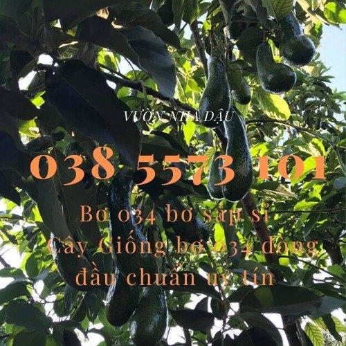 Bơ 034 Lâm Đồng - Vựa bơ sỉ Vườn Nhà Dậu đóng thùng từ 30kg1