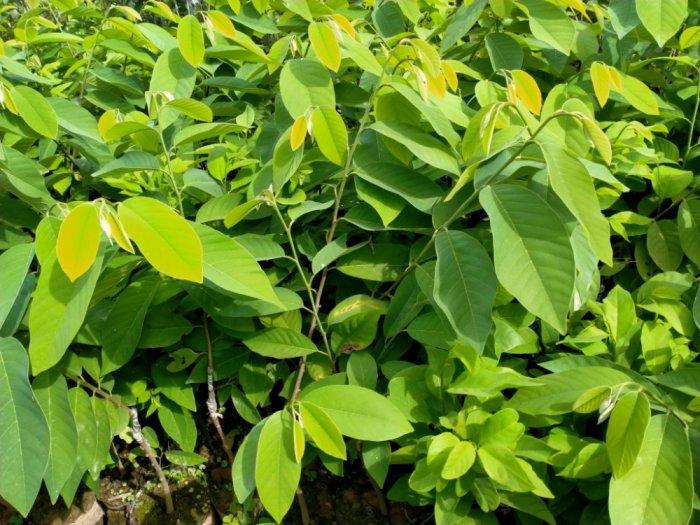 Bán cây giống Na Đài Loan, Na Thái, Na Dai, Na Sầu Riêng3