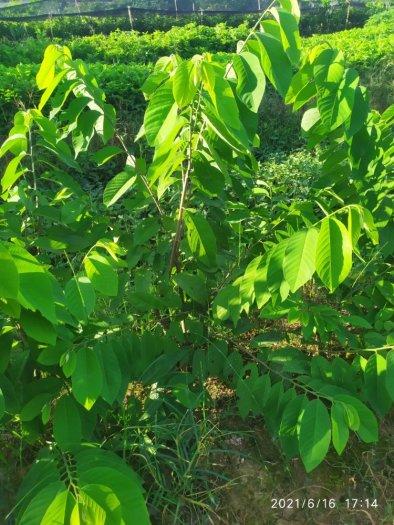 Bán cây giống Na Đài Loan, Na Thái, Na Dai, Na Sầu Riêng2