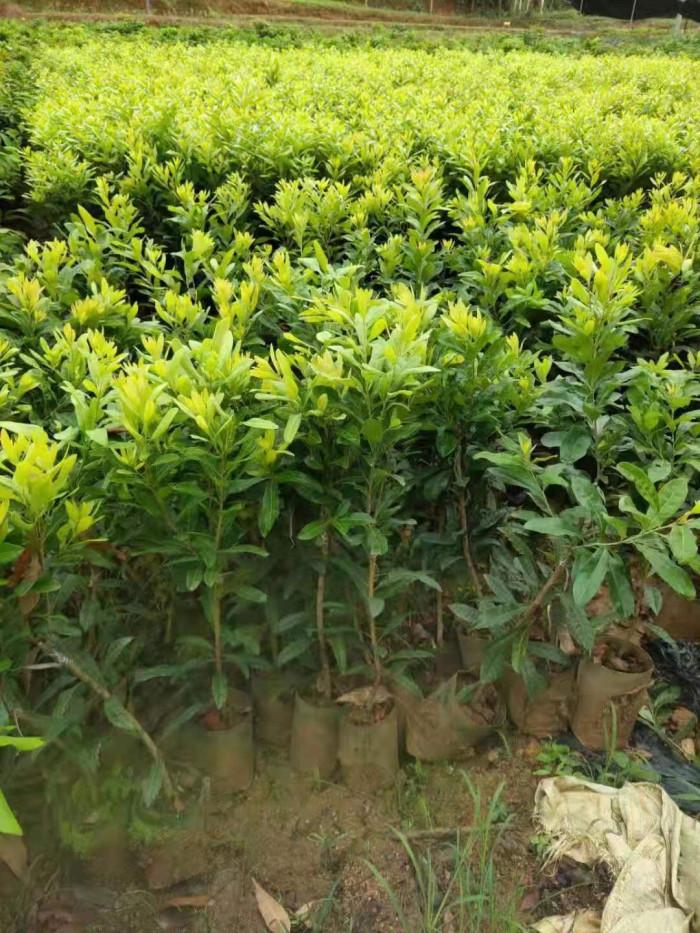 Cây Thanh Mai (cây dâu rừng)1