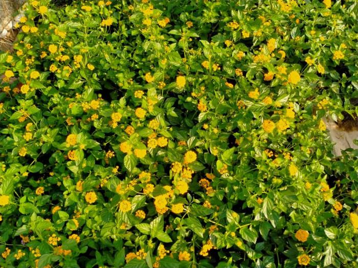 Hoa ngũ sắc tím rủ, vàng rủ.0