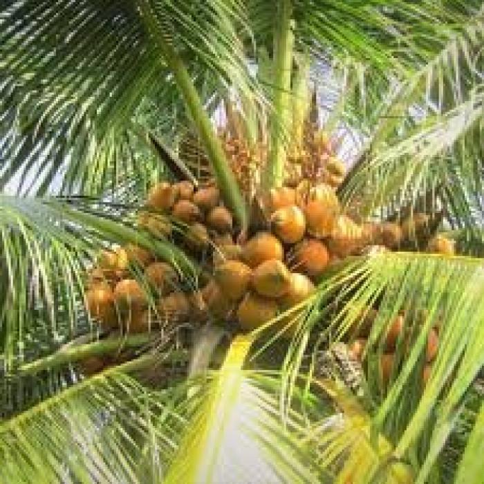 Cây Giống Dừa Xiêm Lùn0