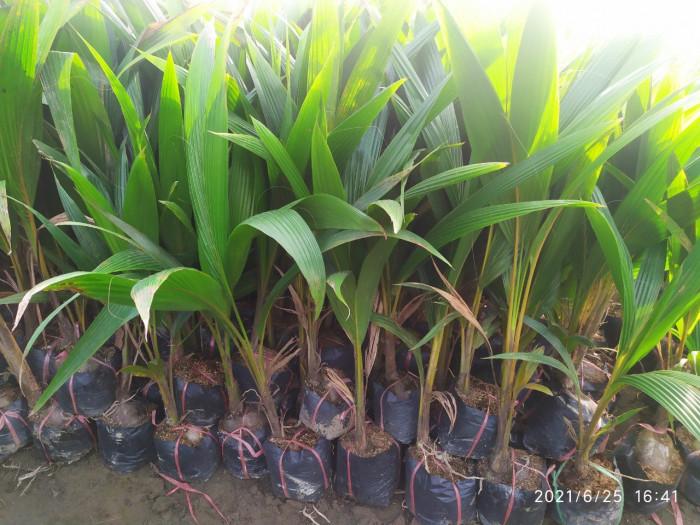 Cây Giống Dừa Xiêm Lùn1