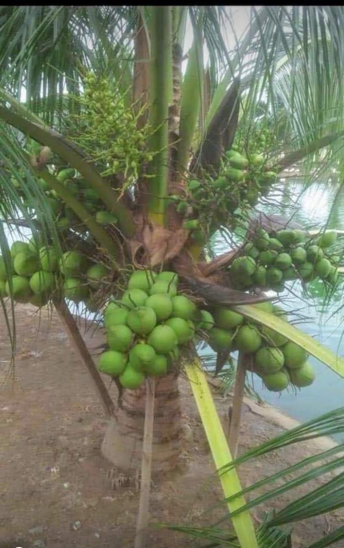 Cây Giống Dừa Xiêm Lùn2