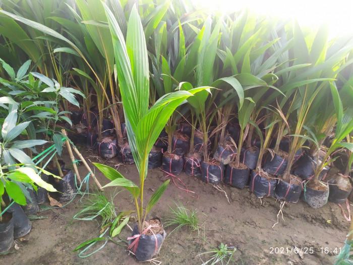 Cây Giống Dừa Xiêm Lùn5