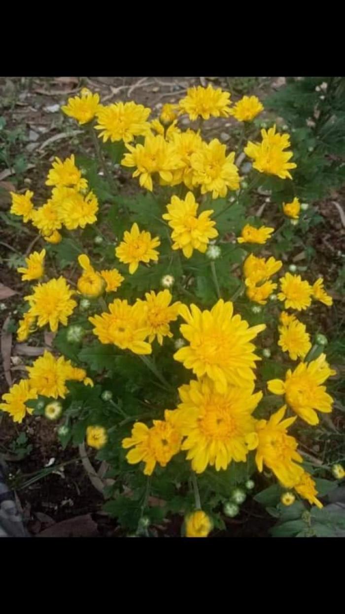 Cây Giống Cúc Các Màu 5