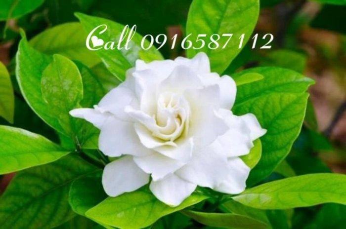 Bán hoa lài tươi ( jasmine flower )2