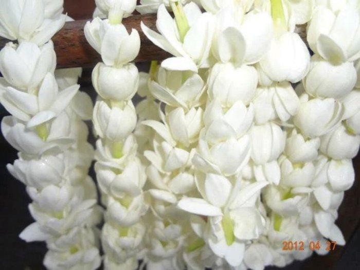 Hoa lài tươi ( fresh jasmine flower )0