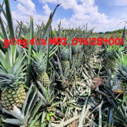 Chuyên cung cấp giống cây dứa MD2, cây dứa mật, dứa MD2 nuôi cấy mô, số lượng lớn, giao hàng toàn quốc31