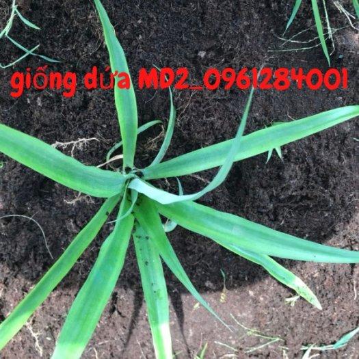 Chuyên cung cấp giống cây dứa MD2, cây dứa mật, dứa MD2 nuôi cấy mô, số lượng lớn, giao hàng toàn quốc29