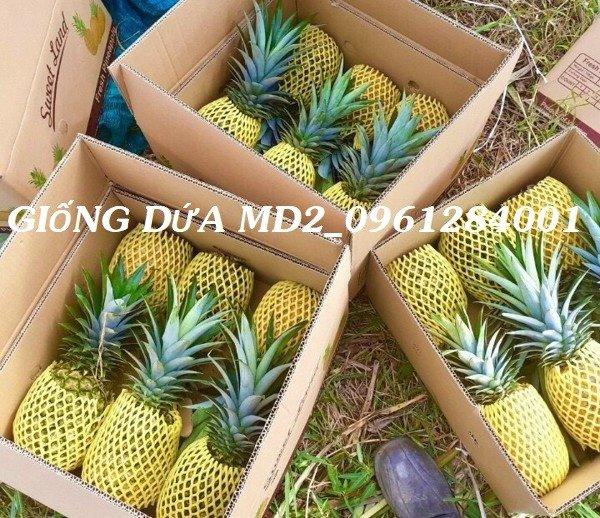 Chuyên cung cấp giống cây dứa MD2, cây dứa mật, dứa MD2 nuôi cấy mô, số lượng lớn, giao hàng toàn quốc28