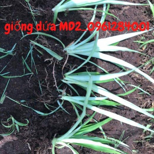 Chuyên cung cấp giống cây dứa MD2, cây dứa mật, dứa MD2 nuôi cấy mô, số lượng lớn, giao hàng toàn quốc27