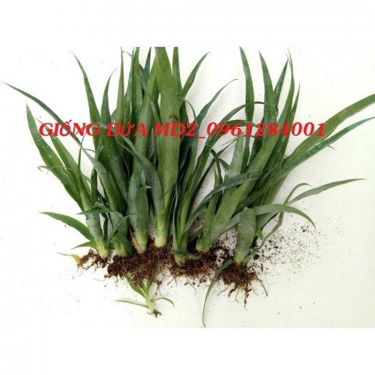 Chuyên cung cấp giống cây dứa MD2, cây dứa mật, dứa MD2 nuôi cấy mô, số lượng lớn, giao hàng toàn quốc23
