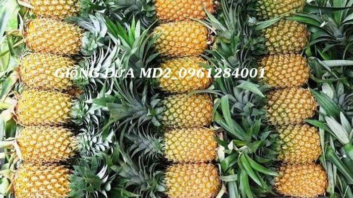 Chuyên cung cấp giống cây dứa MD2, cây dứa mật, dứa MD2 nuôi cấy mô, số lượng lớn, giao hàng toàn quốc18