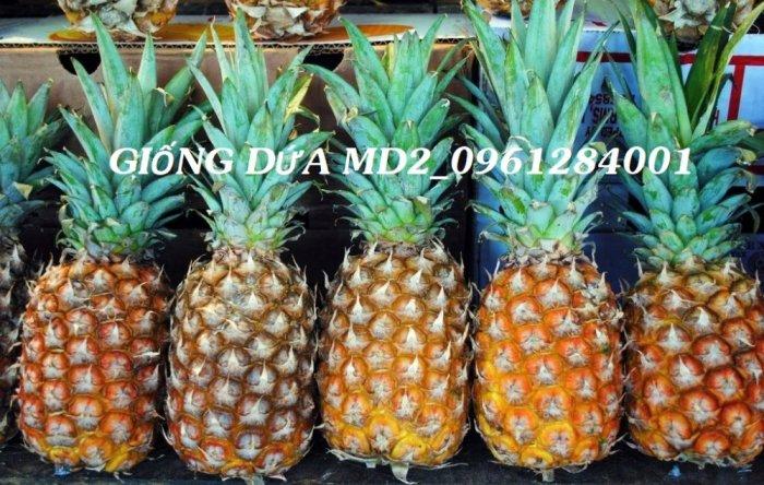 Chuyên cung cấp giống cây dứa MD2, cây dứa mật, dứa MD2 nuôi cấy mô, số lượng lớn, giao hàng toàn quốc16