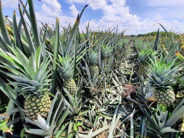 Chuyên cung cấp giống cây dứa MD2, cây dứa mật, dứa MD2 nuôi cấy mô, số lượng lớn, giao hàng toàn quốc15