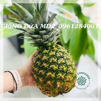 Chuyên cung cấp giống cây dứa MD2, cây dứa mật, dứa MD2 nuôi cấy mô, số lượng lớn, giao hàng toàn quốc13
