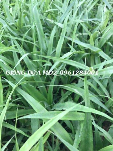 Chuyên cung cấp giống cây dứa MD2, cây dứa mật, dứa MD2 nuôi cấy mô, số lượng lớn, giao hàng toàn quốc12