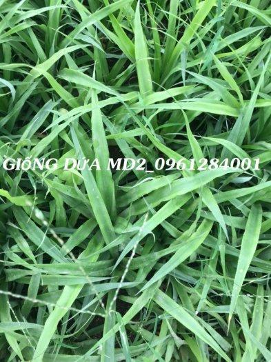Chuyên cung cấp giống cây dứa MD2, cây dứa mật, dứa MD2 nuôi cấy mô, số lượng lớn, giao hàng toàn quốc11