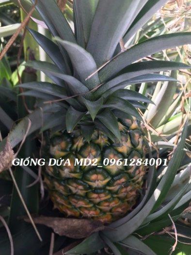 Chuyên cung cấp giống cây dứa MD2, cây dứa mật, dứa MD2 nuôi cấy mô, số lượng lớn, giao hàng toàn quốc10