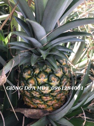 Chuyên cung cấp giống cây dứa MD2, cây dứa mật, dứa MD2 nuôi cấy mô, số lượng lớn, giao hàng toàn quốc9