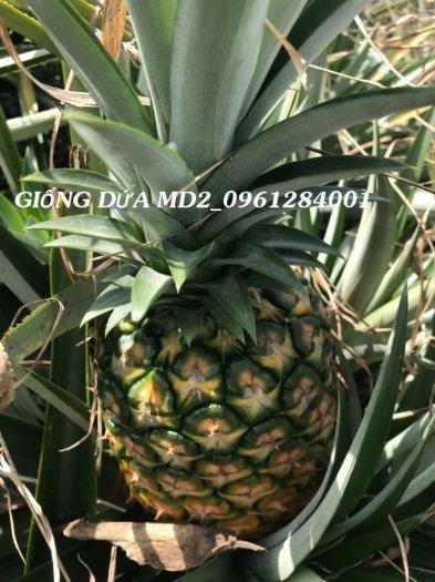 Chuyên cung cấp giống cây dứa MD2, cây dứa mật, dứa MD2 nuôi cấy mô, số lượng lớn, giao hàng toàn quốc8