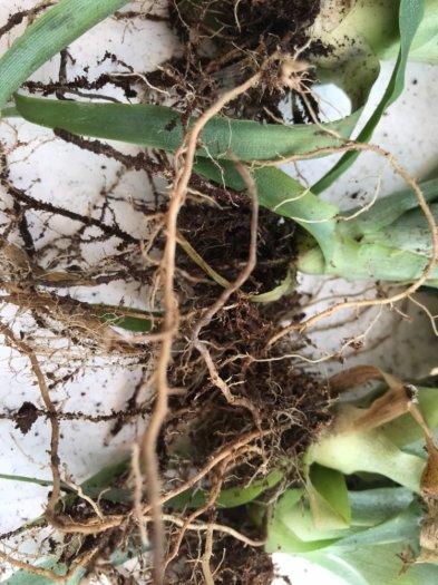 Chuyên cung cấp giống cây dứa MD2, cây dứa mật, dứa MD2 nuôi cấy mô, số lượng lớn, giao hàng toàn quốc6