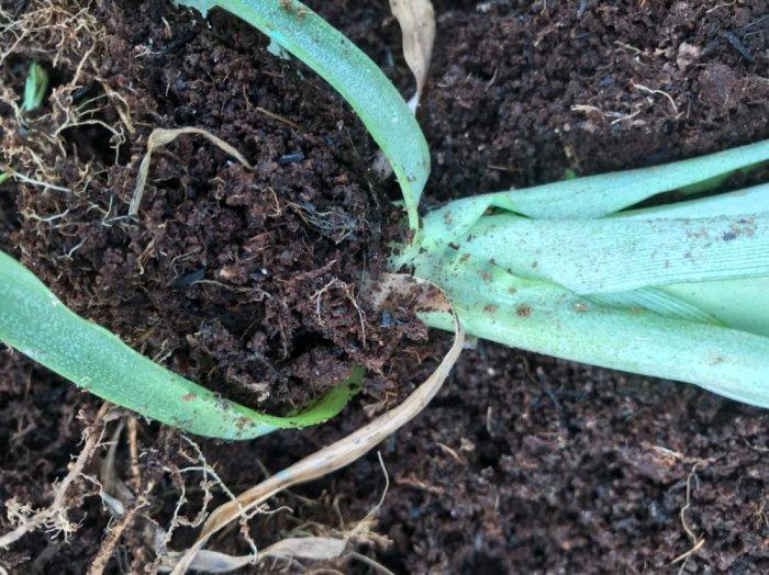 Chuyên cung cấp giống cây dứa MD2, cây dứa mật, dứa MD2 nuôi cấy mô, số lượng lớn, giao hàng toàn quốc5