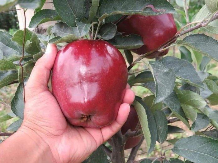 Bán cây giống táo tây đỏ nhập khẩu.1