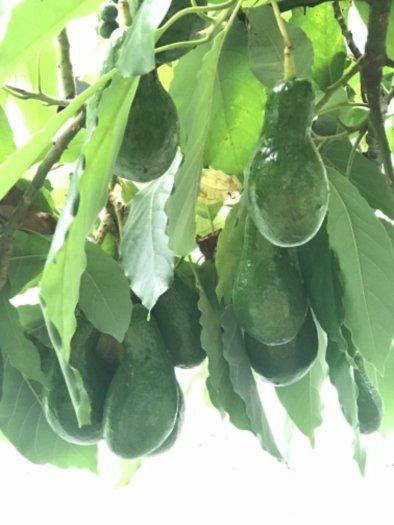Bơ sáp cây nhà trồng1